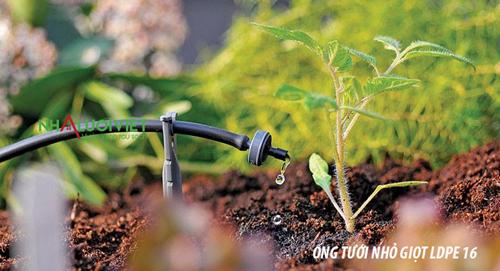 Sử dụng ống tưới nhỏ giọt tại vườn trồng cà chua