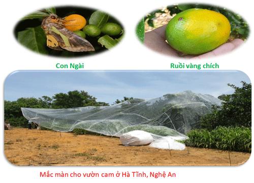 Hình ảnh mắc màn lưới chống côn trùngcho cam ở Nghệ An