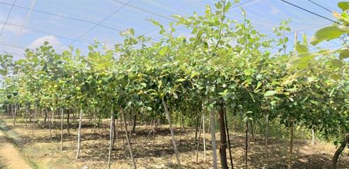 Cách làm nhà lưới trồng táo hiệu quả