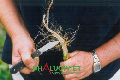 Bệnh thối rễ ở cây chanh