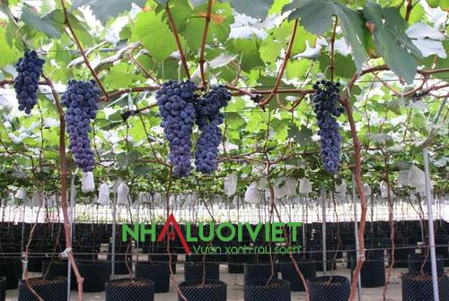 Những điều kiện cần có khi trồng nho