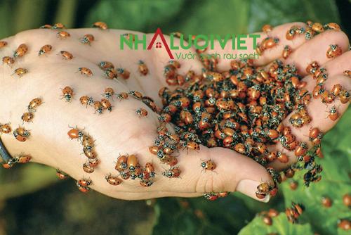 Cách diệt rầy mềm gây hại cây trồng