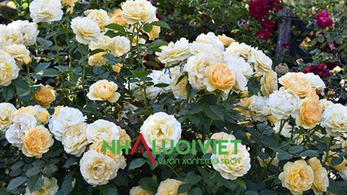 Độ pH lý tưởng cho Hoa hồng