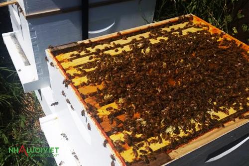 Lựa chọn ong để nuôi trong nhà kính