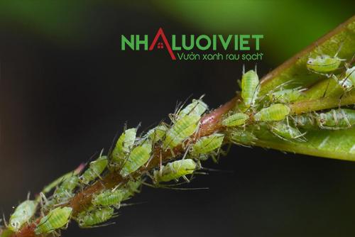 Rầy mềm gây hại cây trồng