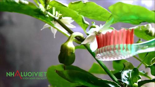 Sử dụng bàn chải đánh răng để thụ phấn cho ớt