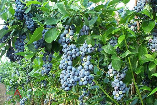 Sử dụng thuốc diệt côn trùng hữu cơ cho việt quất
