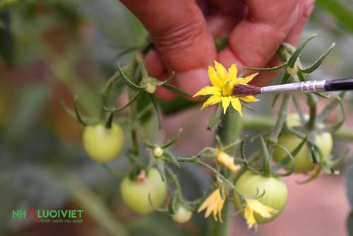 Cách thụ phấn cho cây trồng trong nhà kính