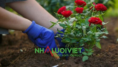 Trồng hoa hồng trong đất có độ pH thích hợp