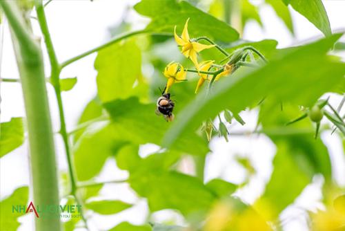 Ưu điểm khi thụ phấn bằng ong trong nhà kính