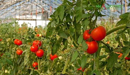Cà chua trồng trong nhà kính