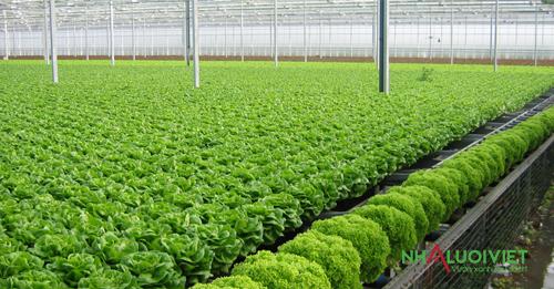 Mô hình nhà màng trồng rau thủy canh hiệu quả