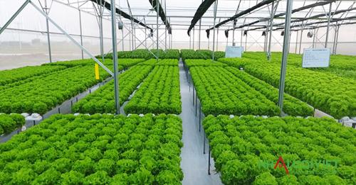 Mô hình nhà màng trồng rau thủy canh cho năng suất cao