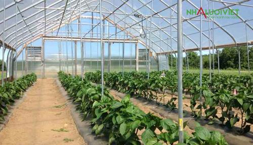 Ớt phát triển tốt khi trồng trong nhà kính