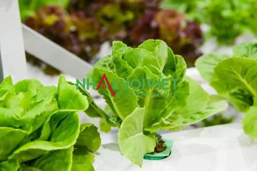 Ánh sáng trồng thủy canh ảnh hưởng đến cây trồng