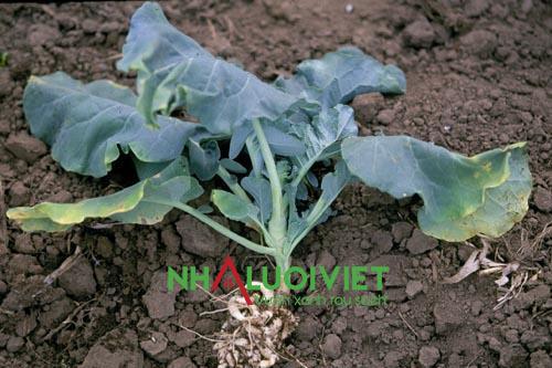 Bệnh thối rễ ở rau