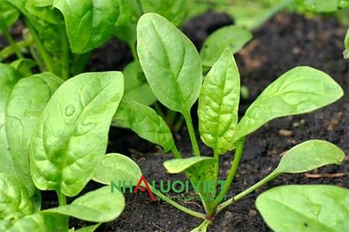 Cách trồng cải bó xôi non tại nhà
