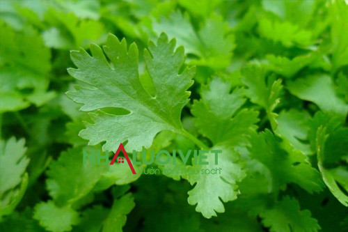 Mùi tây trồng trong nhà