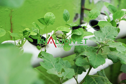 Chọn cây trồng thích hợp với nhiệt độ trồng thủy canh