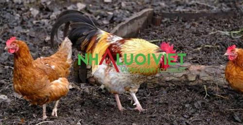 Phân gà đậm đặc nên ủ vài tháng trước khi sử dụng