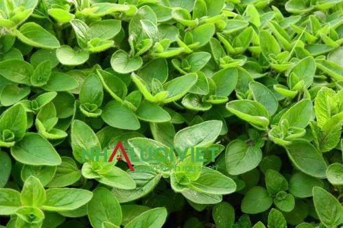 Cây kinh giới có thể trồng trong nhà