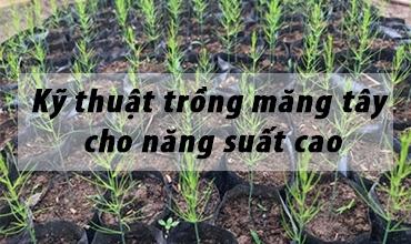 Kỹ thuật trồng măng tây cho năng suất cao ( Phần 1)
