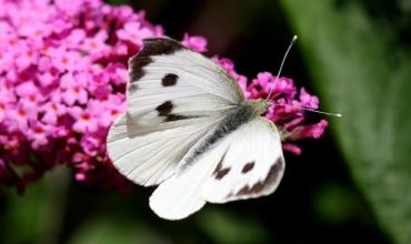 Cách diệt bướm trắng chi phí thấp nhất