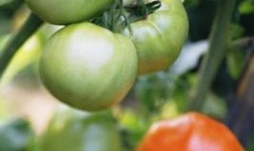 Các loại cà chua để sản xuất trong nhà kính
