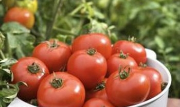 Yếu tố nào giúp cà chua phát triển?