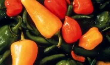 Nguyên nhân có thể khiến cây ớt bị héo