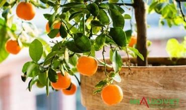 11 loại cây ăn quả tốt nhất để trồng trong chậu